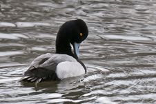Free Lesser Scaup Preening Royalty Free Stock Images - 23673169