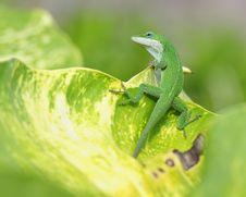 Lizard On Tropical Leaf