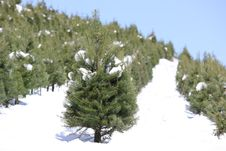 Free Oregon Tree Farm In The Snow Stock Image - 23678331
