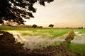 Free Sunset On Green Rice Field Royalty Free Stock Photography - 23681057