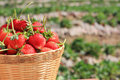 Free Strawberry Royalty Free Stock Images - 23685689