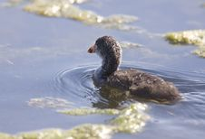 Free Coot Waterhen Babies Royalty Free Stock Photo - 23680505