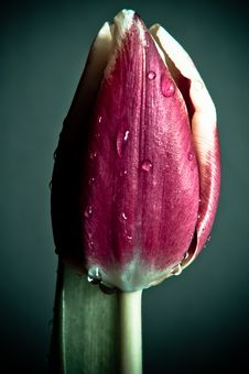 Free Isolated Tulip Royalty Free Stock Photography - 23683317
