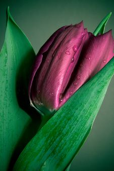 Free Violet Tulip Stock Photography - 23683332