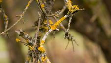 Free Yellow Parasitic Fungus On Twig Stock Photography - 23684102