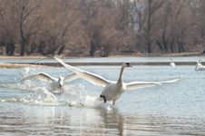 Free Swans Fly Royalty Free Stock Photo - 23686435