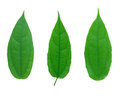 Free Set Of Green Leaf Isolated Royalty Free Stock Images - 23693349