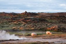 Free Beautiful Iceland Scenery With Pair Of Sheep Royalty Free Stock Photos - 23691058