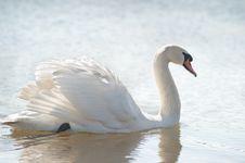 Free White Swan Royalty Free Stock Photos - 23694388