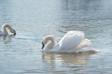 Free White Swan Stock Images - 23694424