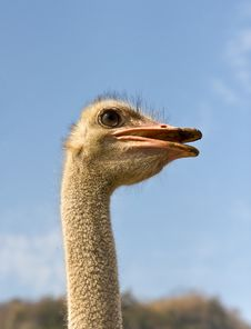 Free Portrait Of Ostrich Royalty Free Stock Photo - 23699395