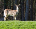 Free Solitary Deer Stock Photography - 2373852