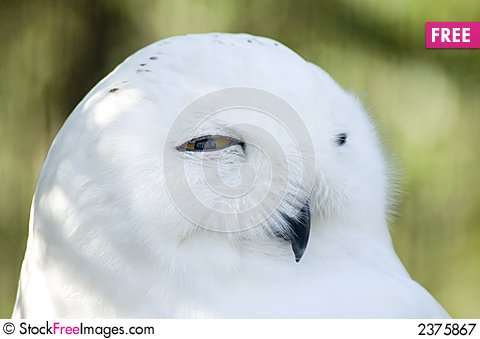 Free Snowy Owl Face Royalty Free Stock Photography - 2375867