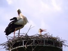 Free Storks Royalty Free Stock Photos - 2370568