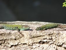 Free Two Lizards Stock Photography - 2370742