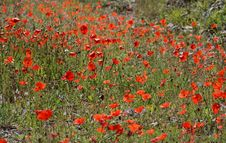 Free Field Of Red Poppies Stock Photos - 2370803