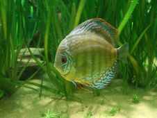Free Discus Fish Stock Photo - 2371830