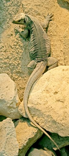Free Rhinoceros Iguana 2 Stock Images - 2372284