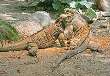 Free Rhinoceros Iguana 4 Stock Images - 2372344