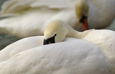 Mute Swan Resting Royalty Free Stock Photography