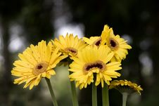 Free Yellow Flowers Royalty Free Stock Photography - 2372737