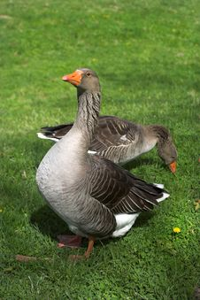 Free Two Geese Stock Image - 2372841