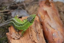 Free Green Lizard Stock Photography - 2372962