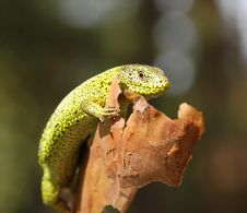 Free Green Lizard Stock Photos - 2372963