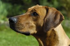 Free Rhodesian Ridgeback Head Stock Images - 2373174
