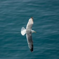 Free Gull Flying Over The Sea Stock Image - 2373341