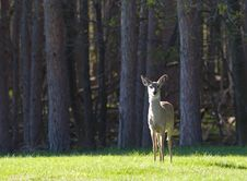 Free Solitary Deer Royalty Free Stock Photo - 2373855