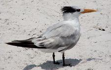 Free Tern Seabird On Beach Stock Photo - 2374840