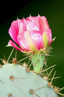 Free Pink Cactus Flower Royalty Free Stock Photography - 2374887