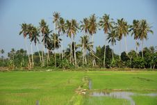 Free Coconut Trees And Paddy Field Royalty Free Stock Image - 2375106