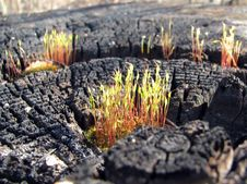 Free Moss On The Charred Tree Stock Photos - 2375233