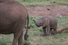 Free Elephant Baby Royalty Free Stock Image - 2376076