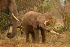 Free African Elephant Calf At Play Royalty Free Stock Images - 2376209