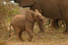 Free African Elephant Calf At Play Royalty Free Stock Photo - 2376265