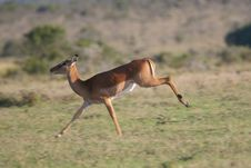 Free Impala Antelope Royalty Free Stock Photo - 2376675