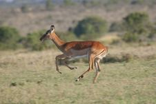 Free Antelope On The Run Royalty Free Stock Images - 2376679