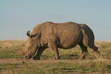 Free White Rhino Stock Photo - 2376730