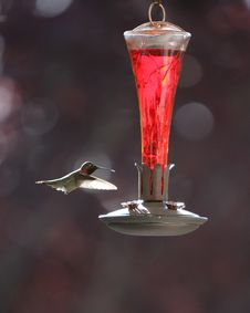 Free Hummingbird At Feeder 2 Stock Images - 2379834
