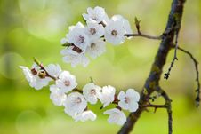 Free The Flowering Branch Royalty Free Stock Photo - 23705735