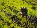 Free Domestic Cat In Hunting Position Royalty Free Stock Image - 23715486