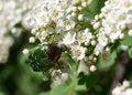 Free June Beetle. Stock Photo - 23722940