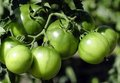Free Green Tomatoes Stock Images - 23725114