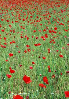 Free Poppy Field Royalty Free Stock Photo - 23722115
