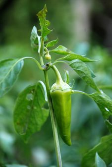 Free Organic Green Paprika Stock Images - 23722774