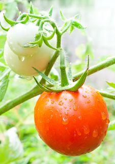 Free Fresh Tomato Royalty Free Stock Images - 23724249