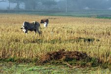 Free Cattle In The Fields Of Rice In The Morning. Royalty Free Stock Photo - 23726225